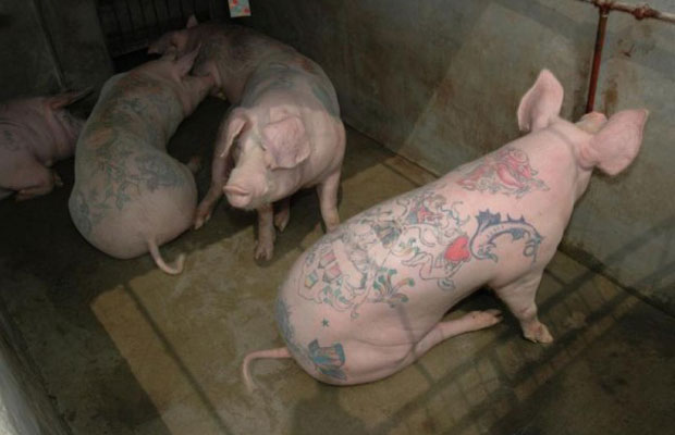 Wim Delvoyes Tattooed Pigs Complex