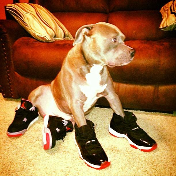 Dog Air Jordans