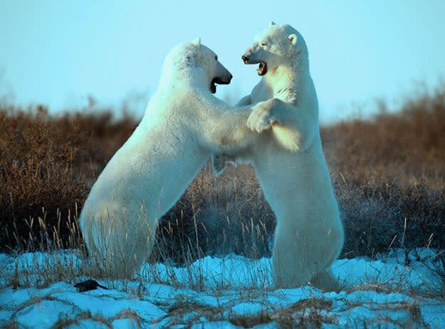 bears-dance-resized
