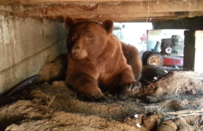 Pissed-Off Brown Bear Rage Poops After Homeowner Kicks Him Out From Under Porch