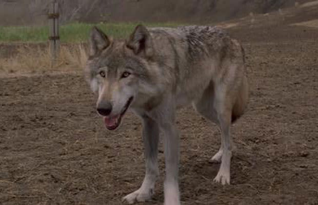 S Cartoon Movie About Dog Vs Wolves