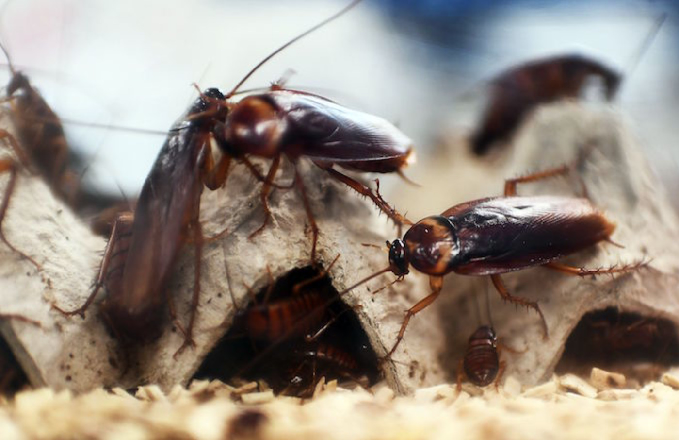 A picture taken shows cockroaches locked in a container at the laboratory.