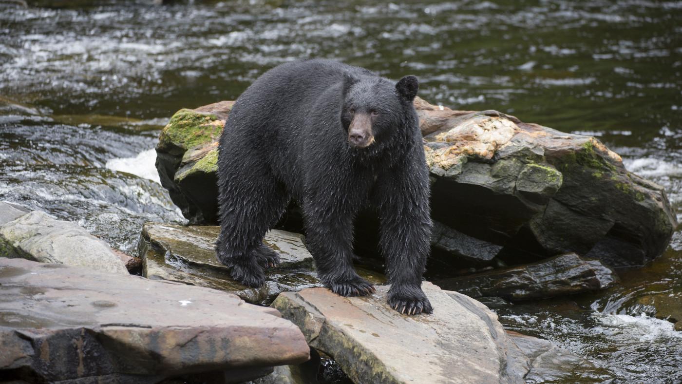 black-bear-alaska
