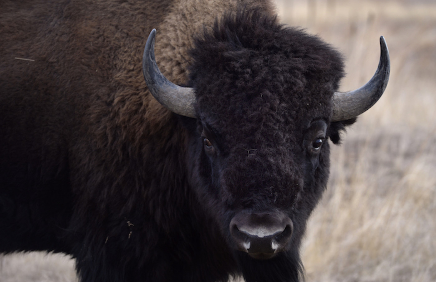 Officials from the U.S. Fish and Wildlife Service perform health checks on the bison herd.