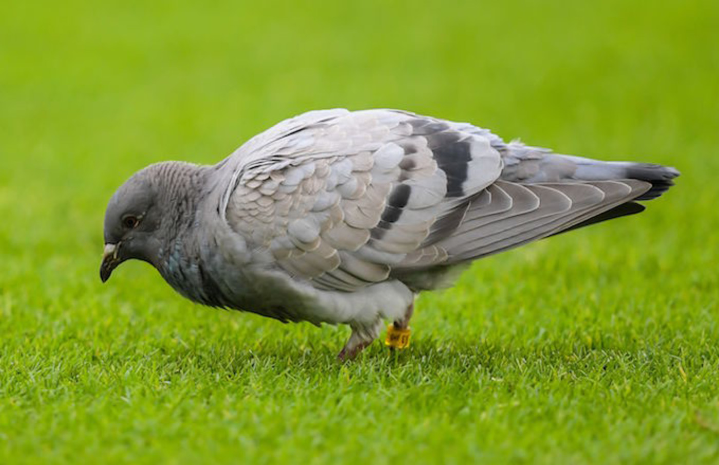 Pigeon spotted at the pitch during the Dutch Eredivisie match.