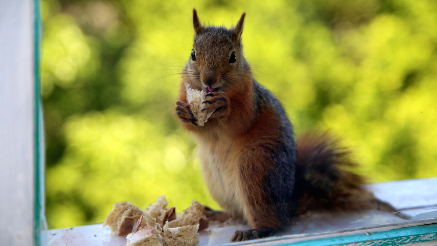 A squirrel eats food on window sill of a man's house