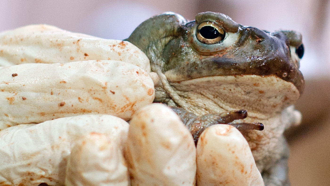 nacho-vidal-toad