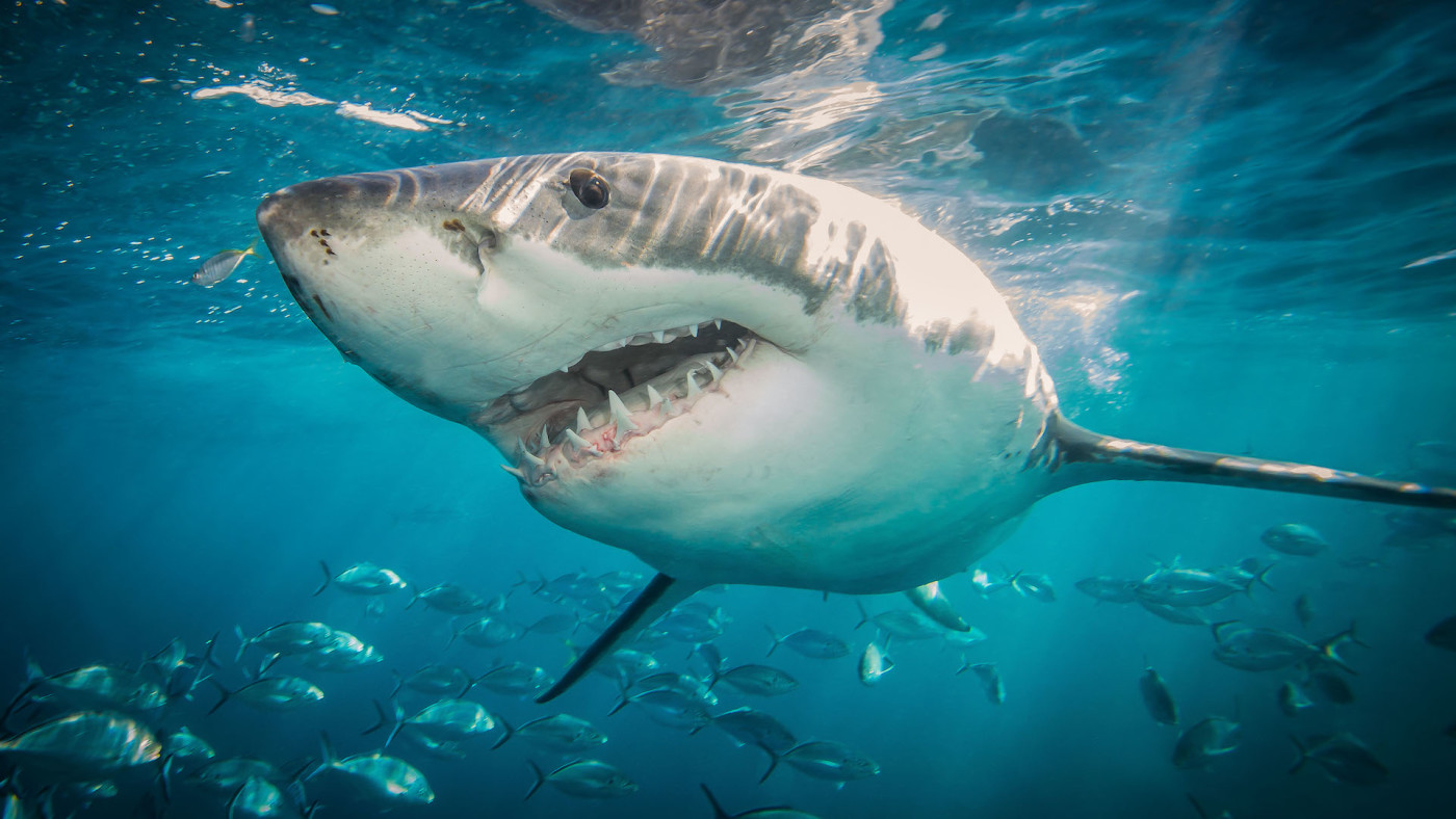 A great white shark taken at The Neptune Islands, South Australia.