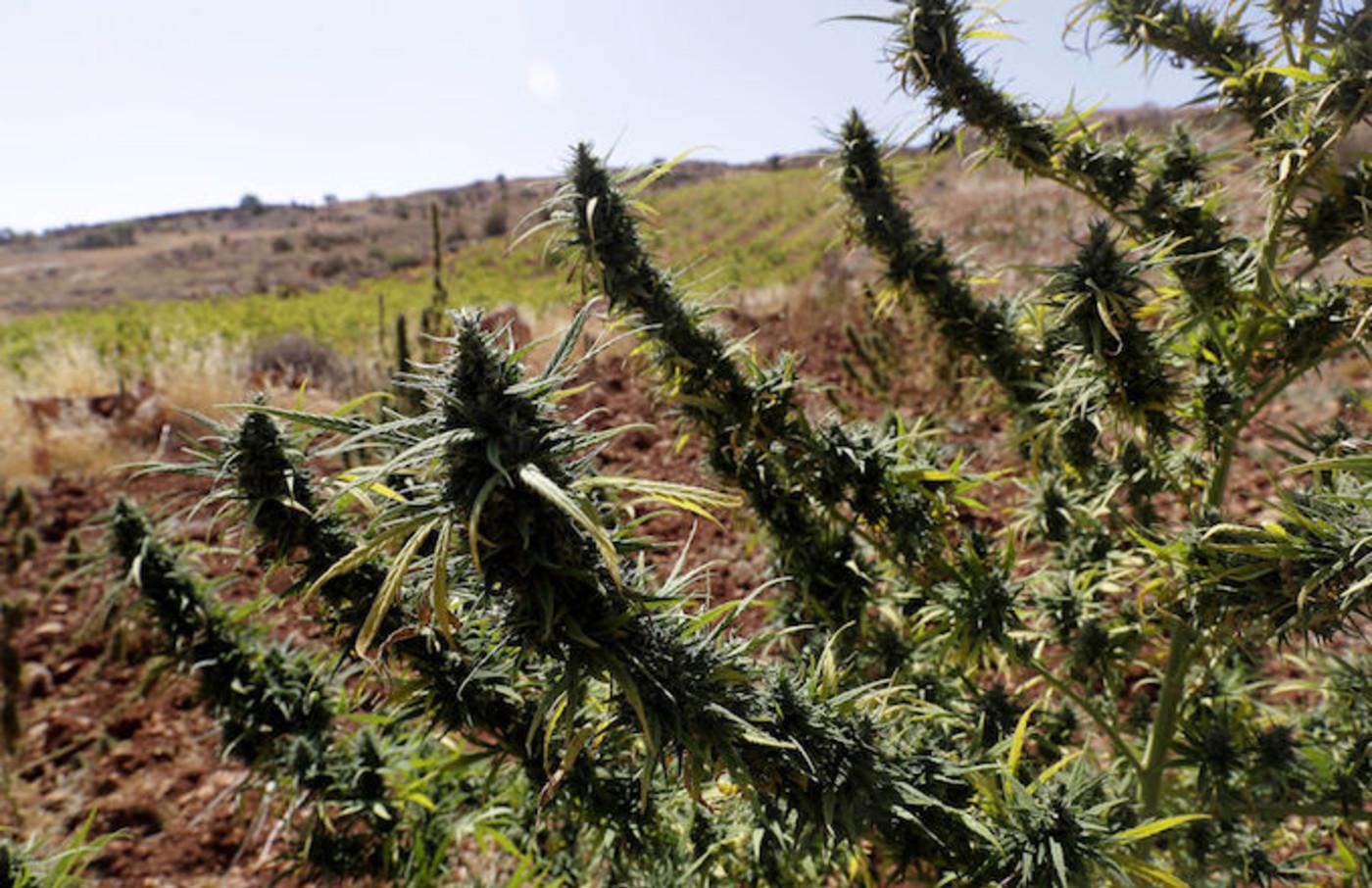 Cannabis field Lebanon