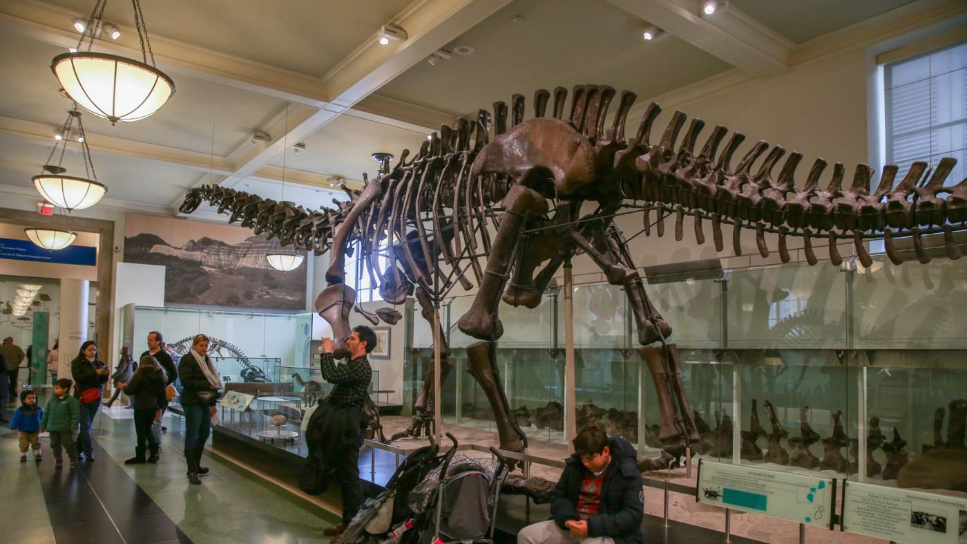 Titanosaur on display