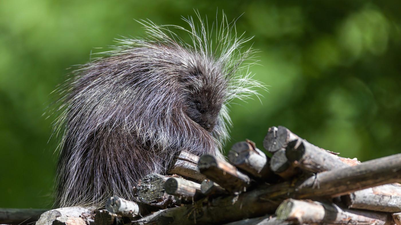 A Baumstachler/ porcupine