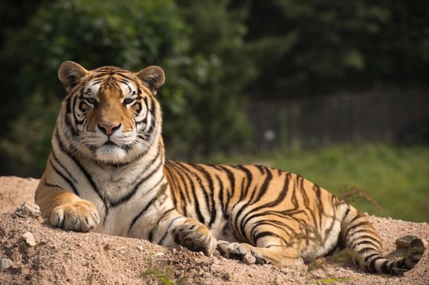 tigers killed