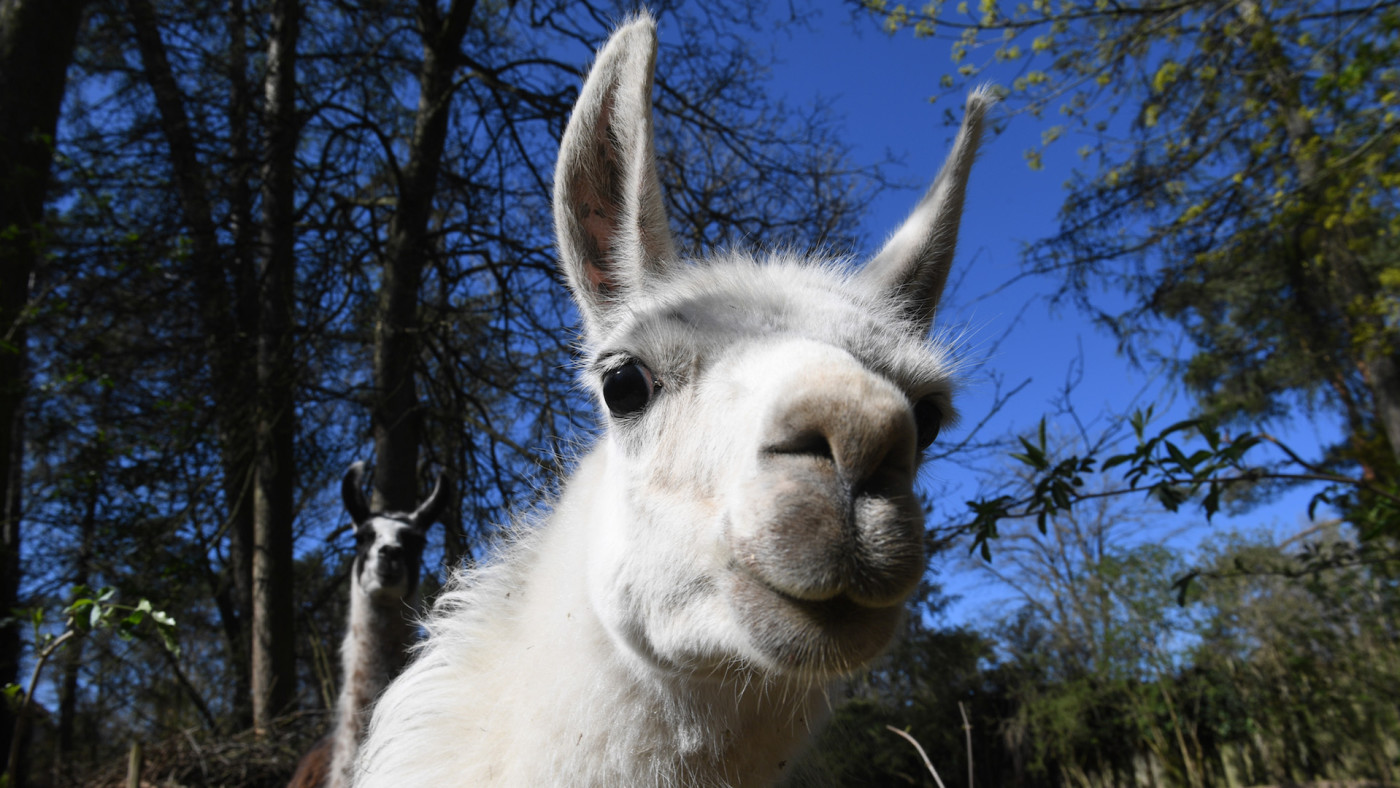 A llama is standing in his enclosure at the zoo.