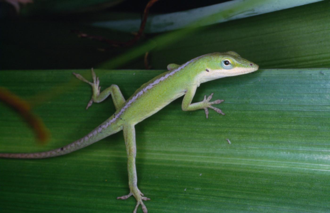 Gecko, Gekkonidae, Micronesia.