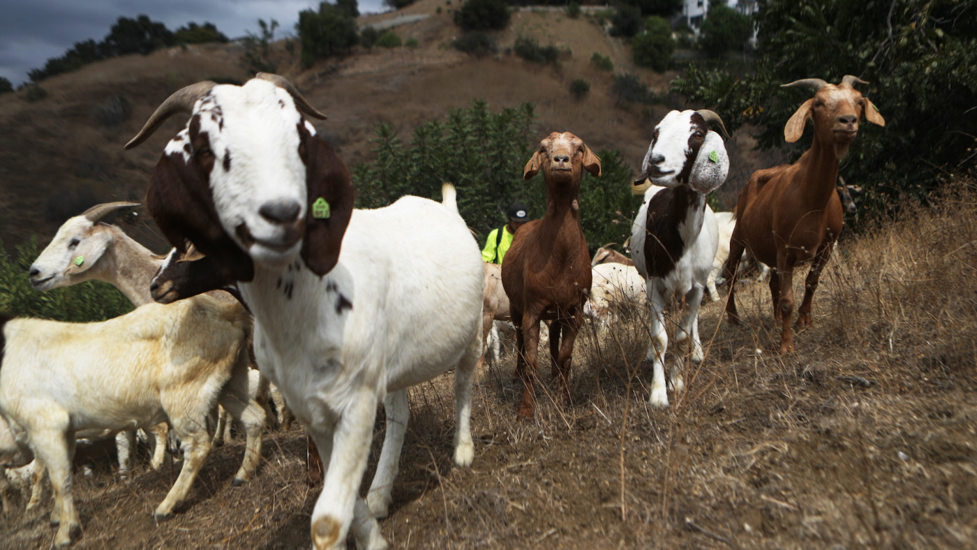 A herd of goats graze on a fire-prone hill as part of fire prevention efforts.