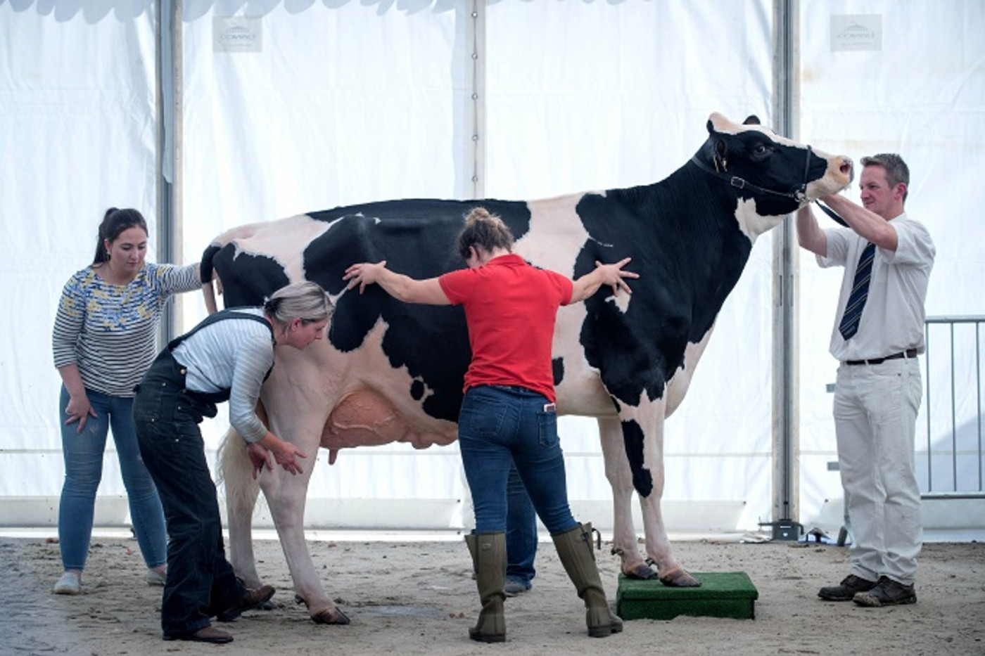 big-cow
