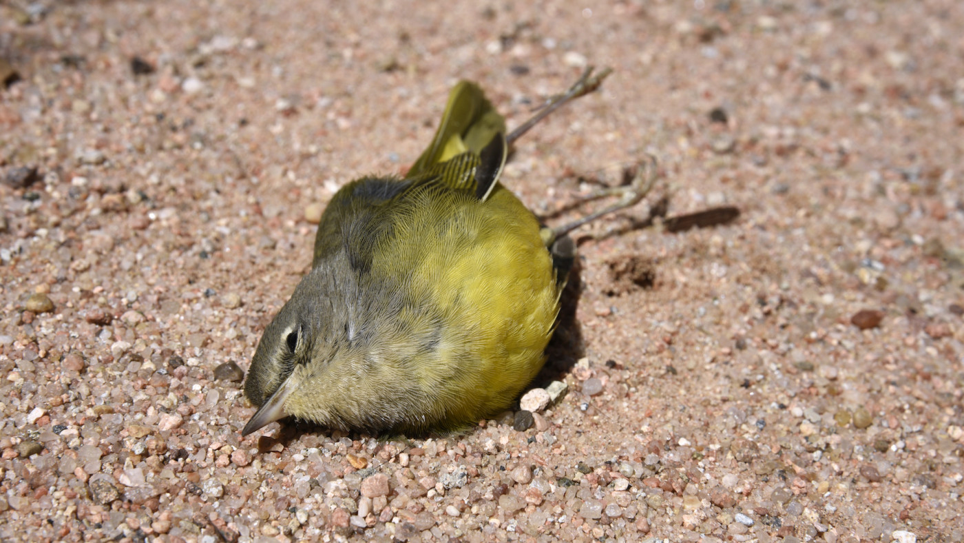 A Nashville Warbler lies dead on the ground in New Mexico.