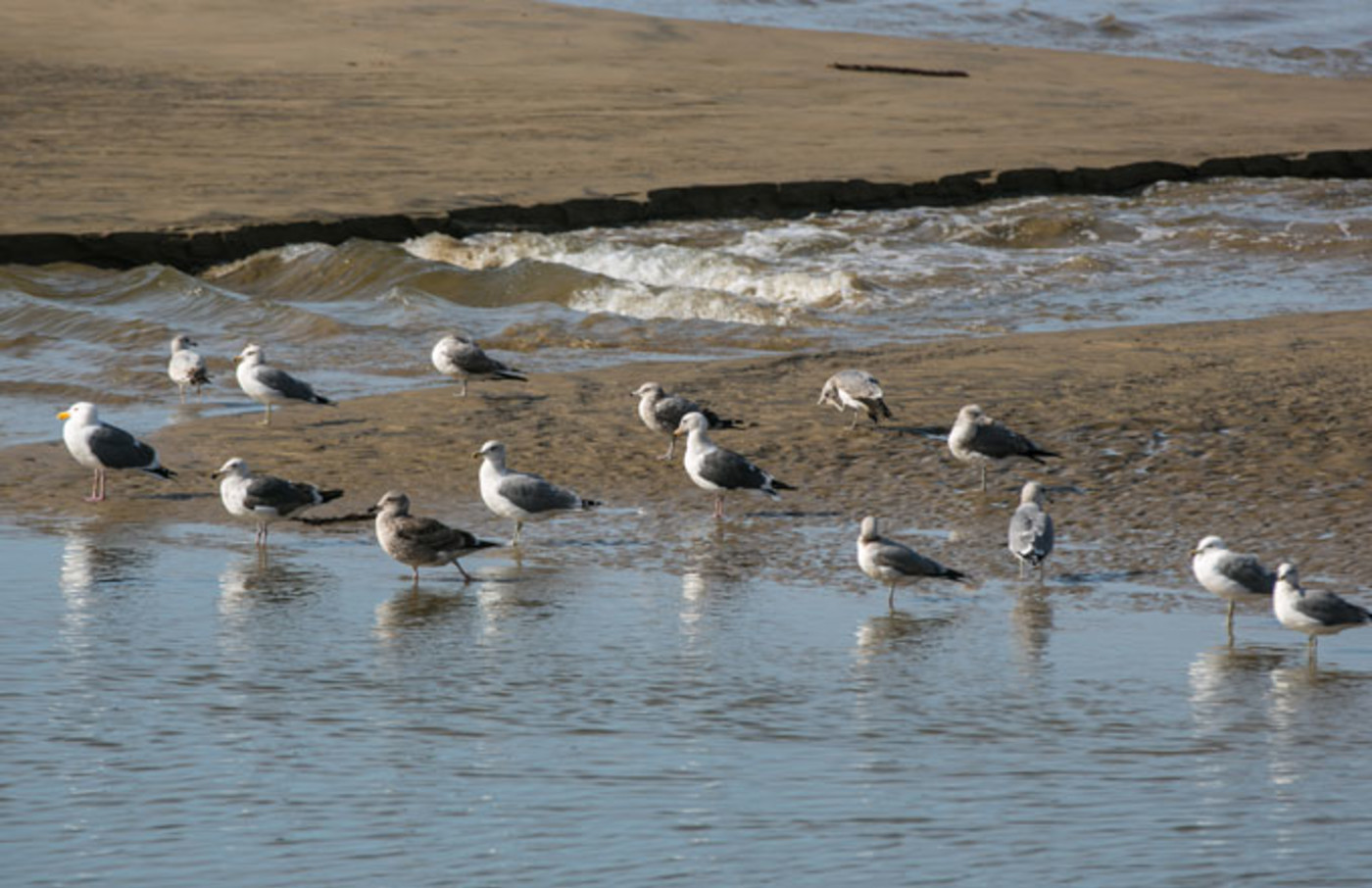 Seagulls on San Francisco's Pismo Beach
