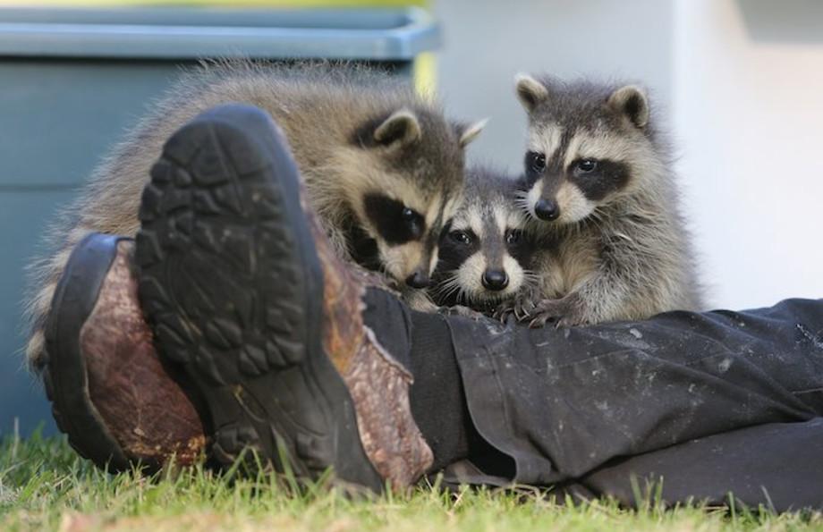 Zombie Raccoons Terrifying Ohio Residents