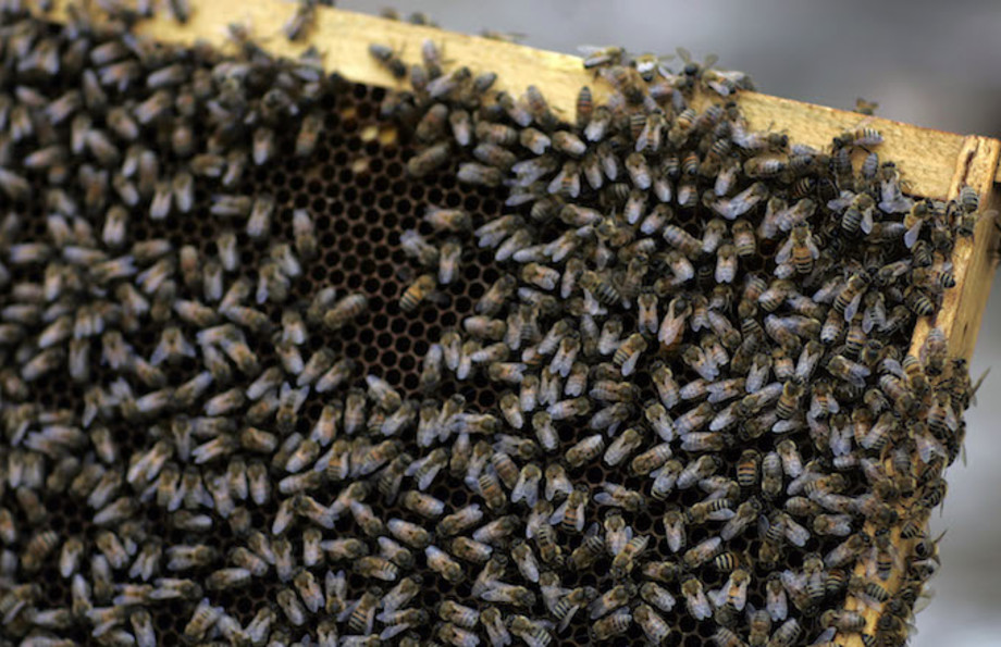A colony of honey bees cluster together.