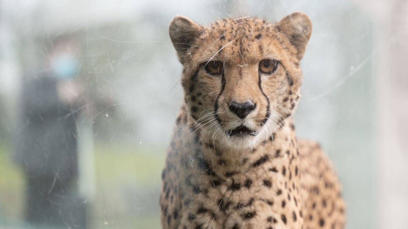 A cheetah can be seen behind a pane of glass in an enclosure