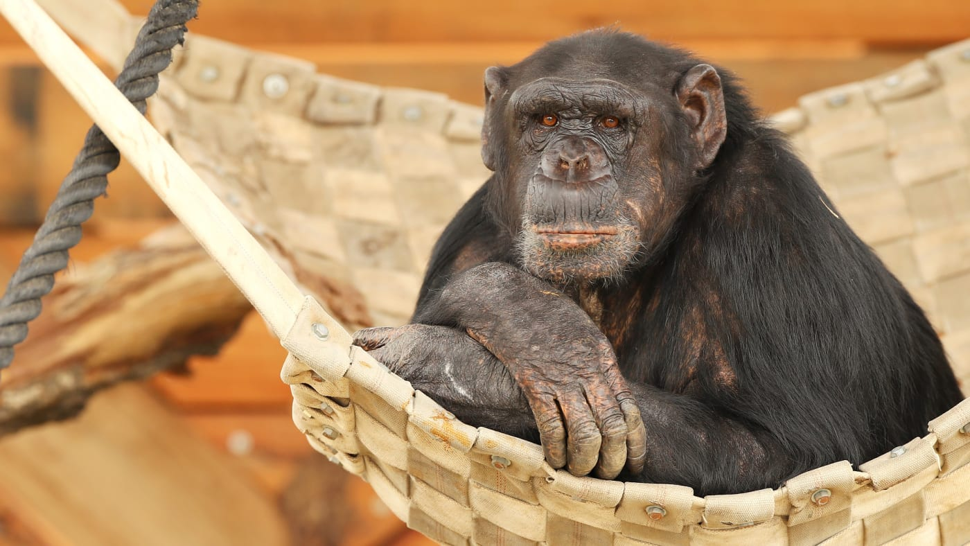 A chimpanzee looks out from an enclosure after the official opening ceremony of Sydney Zoo.