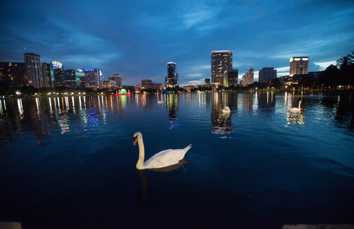 Swans in Lake Eola in Orlando, FL