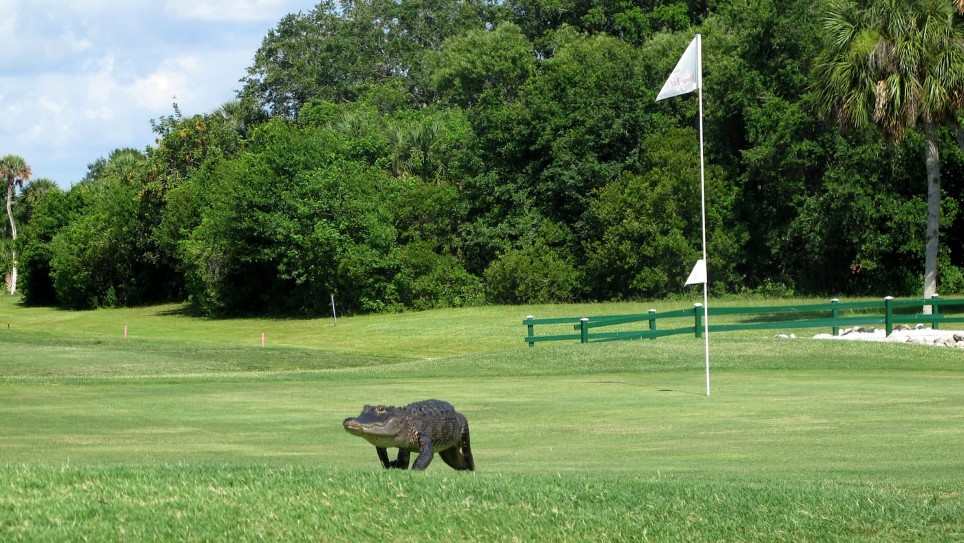 An alligator crosses the putting green at the East Venice golf course in East Venice, Florida.