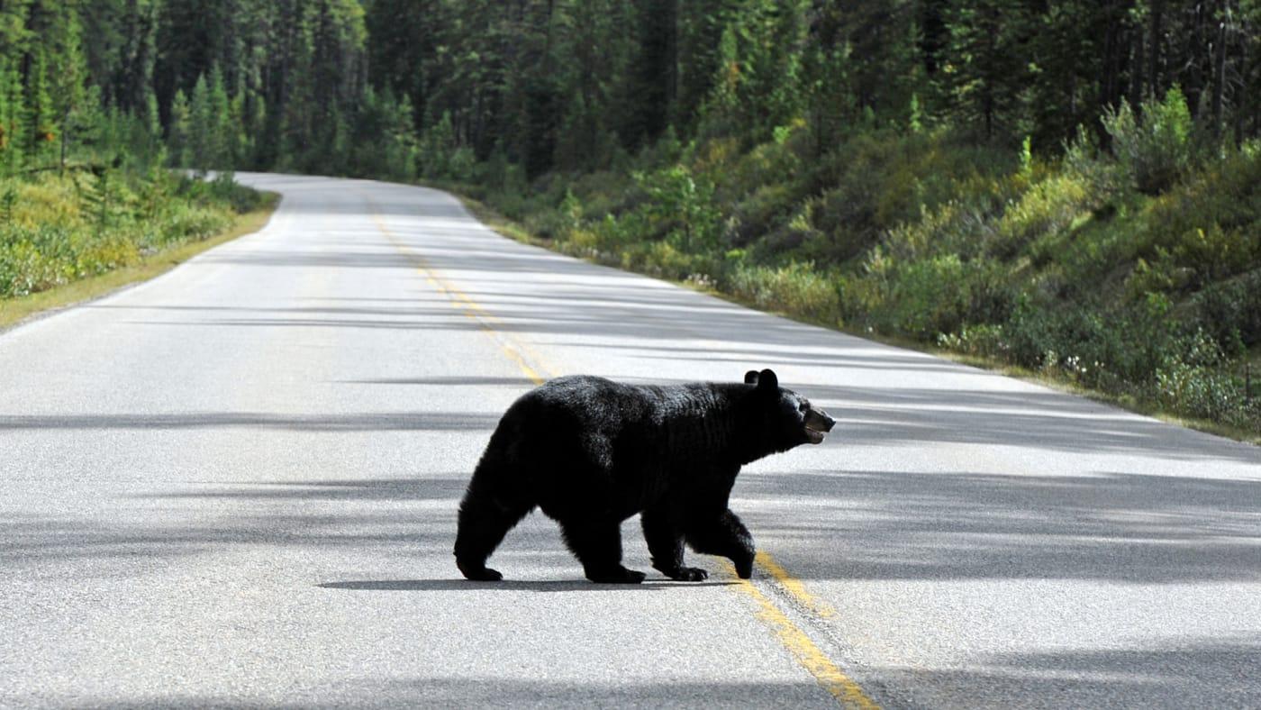 A black bear crosses the road.