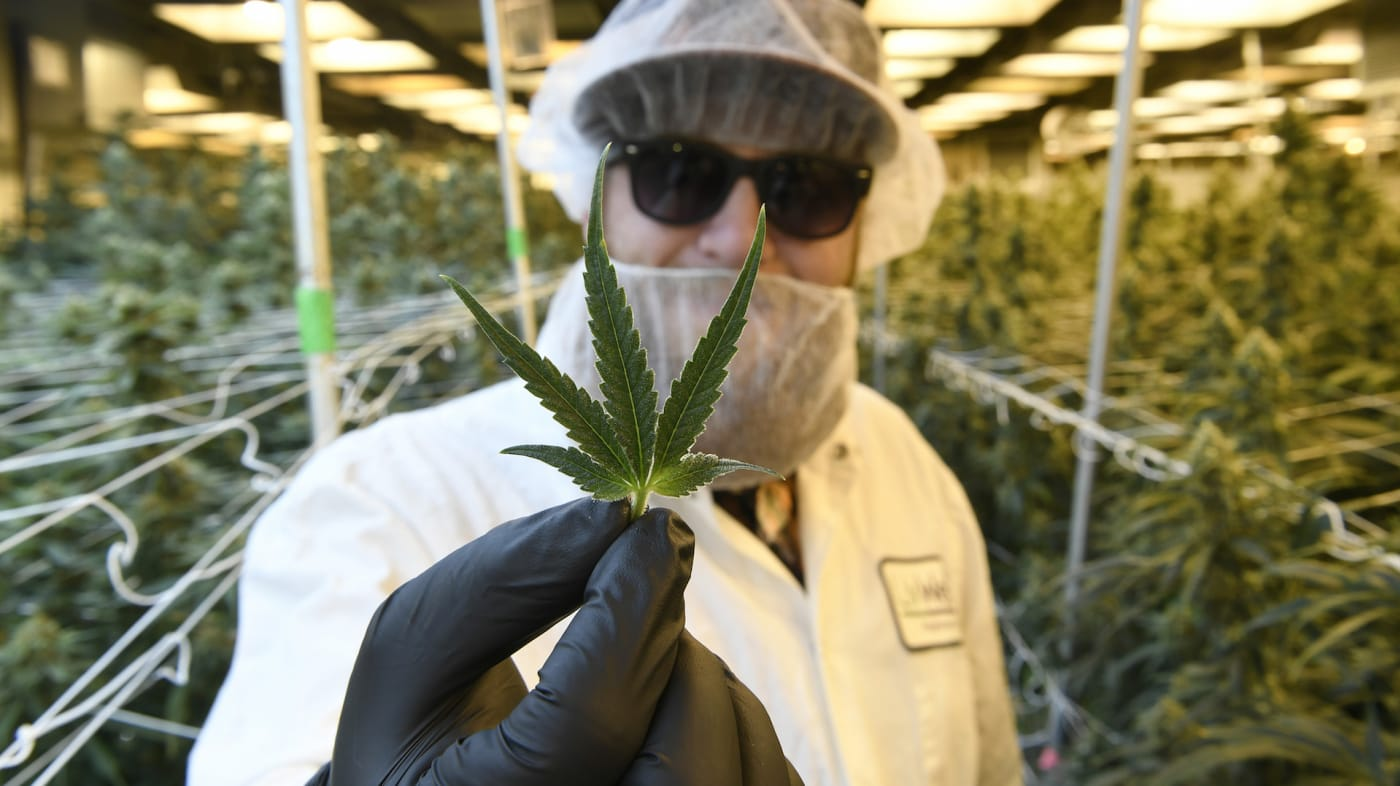 The perfect leaf of a marijuana plant.