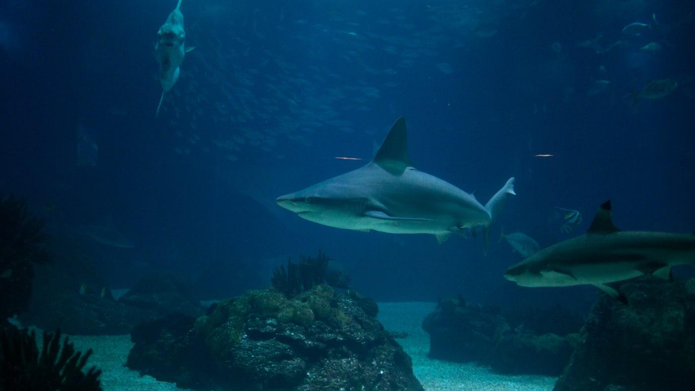 A shark swims in the main tank of the oceanarium in Lisbon, Portugal.