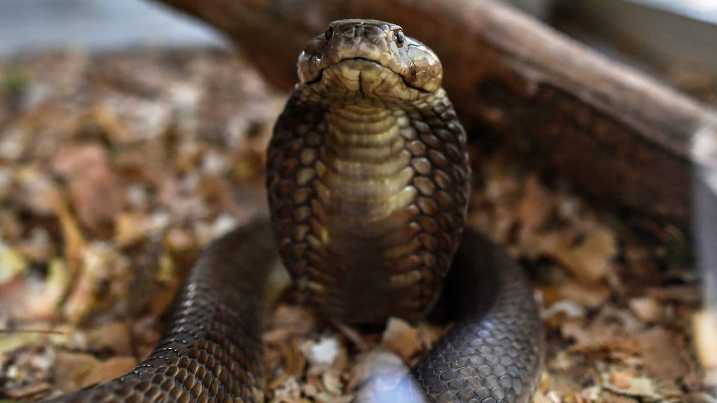A photo taken of a brown spitting cobra.