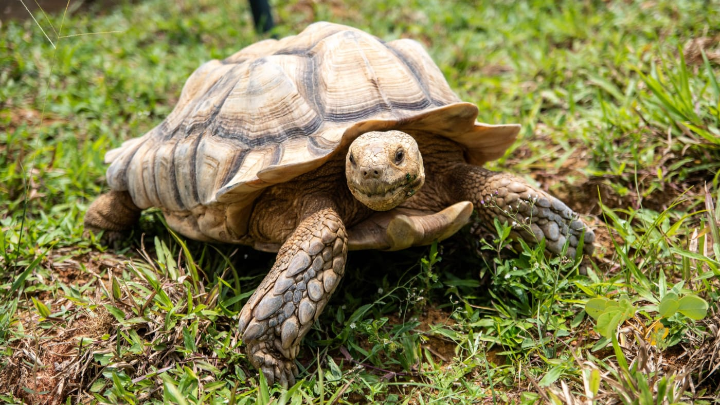 This picture shows a sulcata tortoise roaming around a grass patch in the Live Turtle and Tortoise Museum.