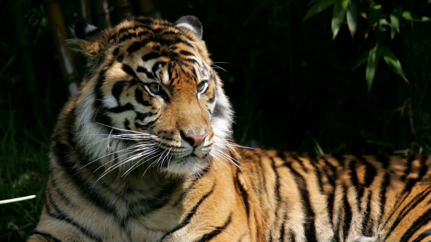 A Sumatran tiger, an endangered animal species, sits in its exhibit at the San Francisco Zoo.