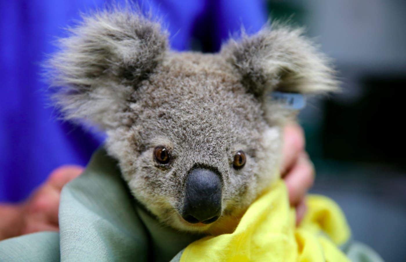 A koala named Pete from Pappinbarra at The Port Macquarie Koala Hospital