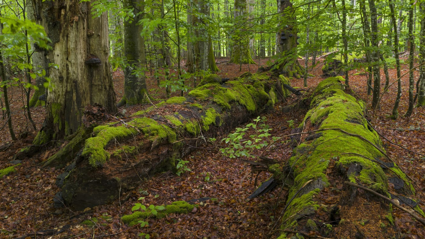 Primeval forest in the National Park Bavarian Forest