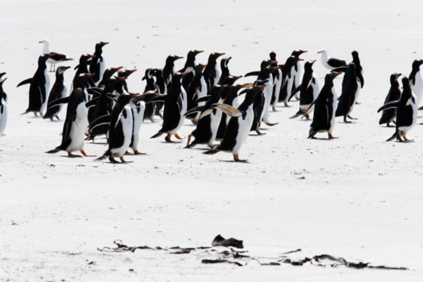 penguins pebble island