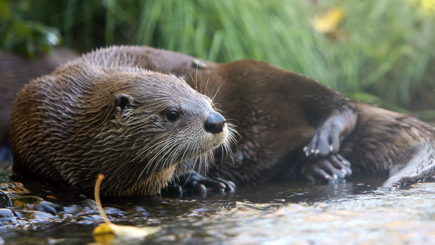 A River Otter rest in its exhibit at the zoo in Seattle, Washington, 01 October, 2006.