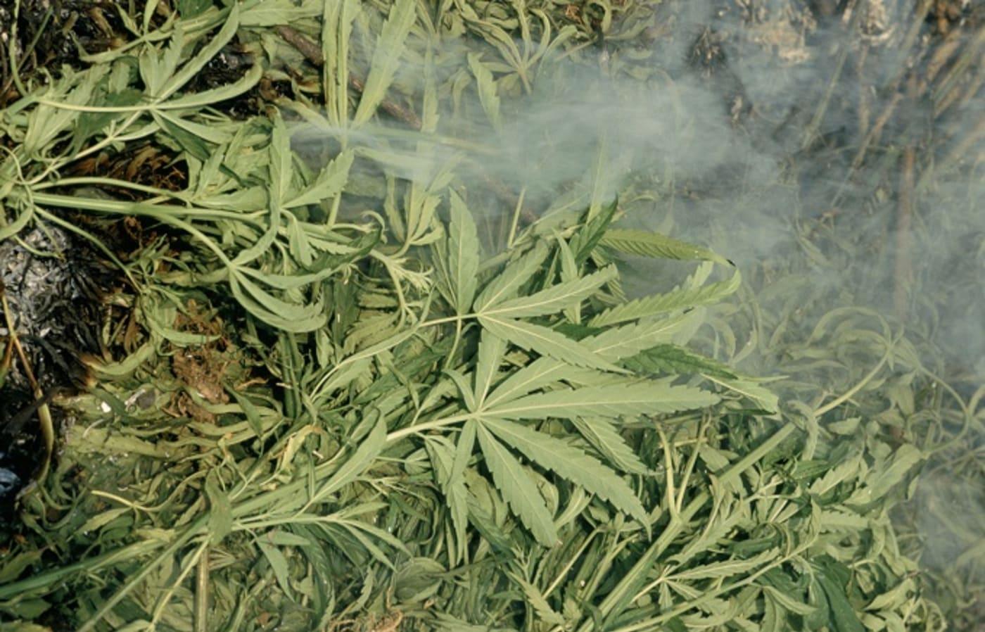 thailand marijuana