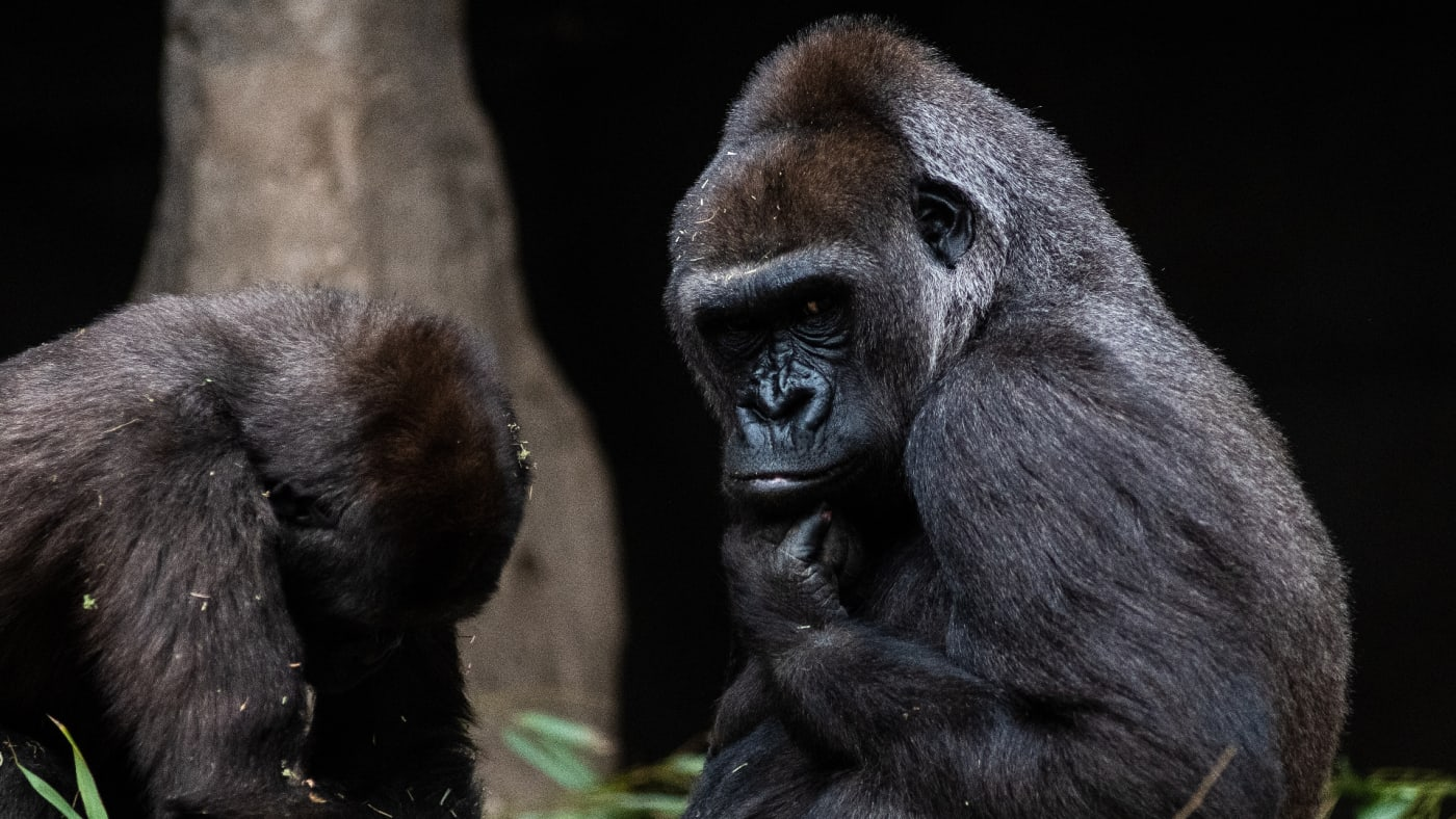 A gorilla pictured in its enclosure in Madrid Zoo.