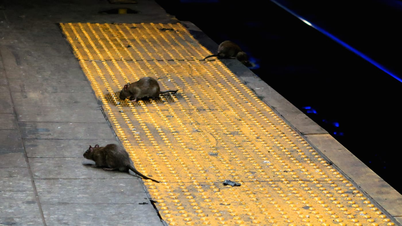 Three rats scavenge for food on the subway platform at Herald Square