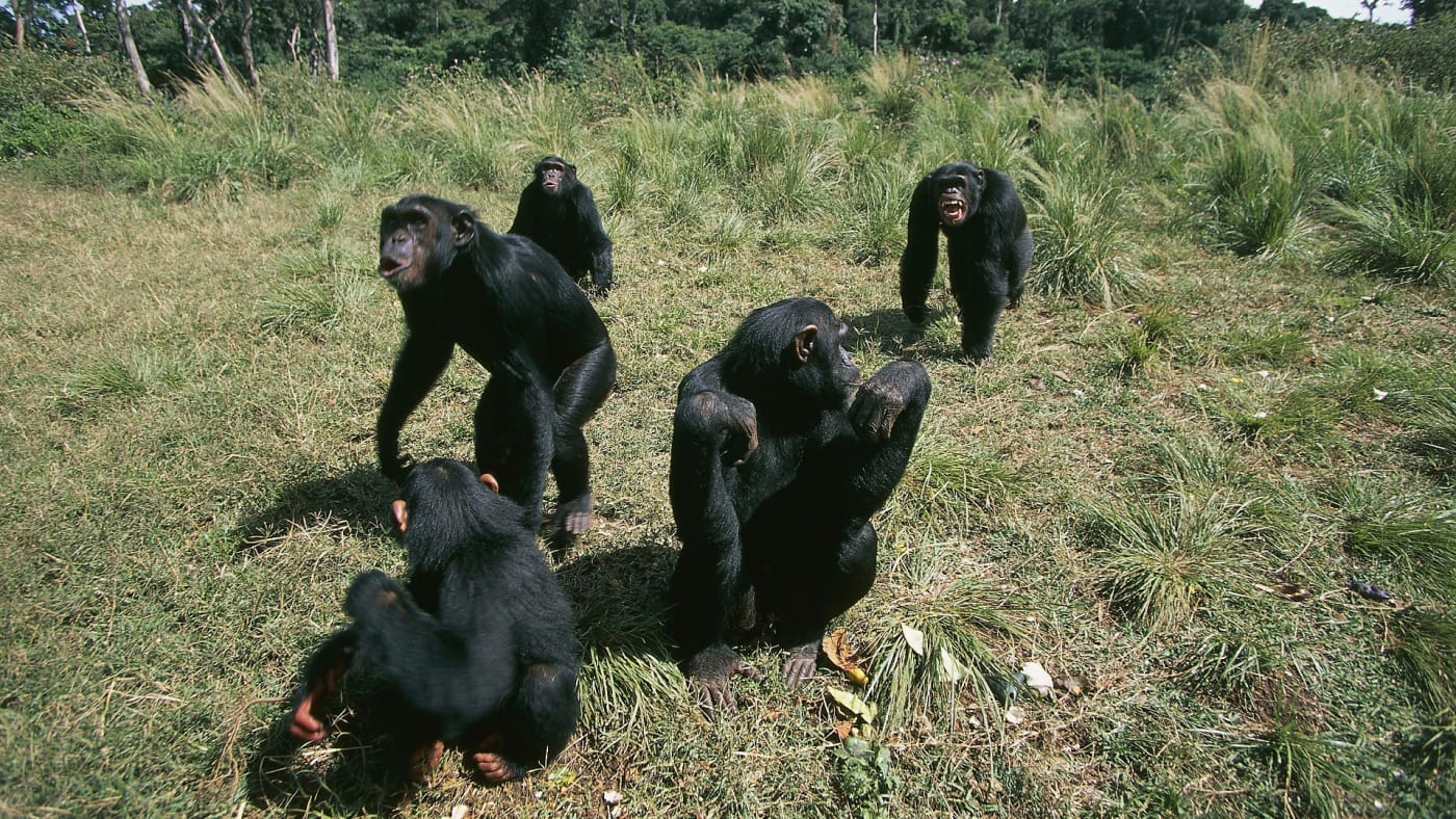 A group of wild chimps enjoy a sunny day outdoors.
