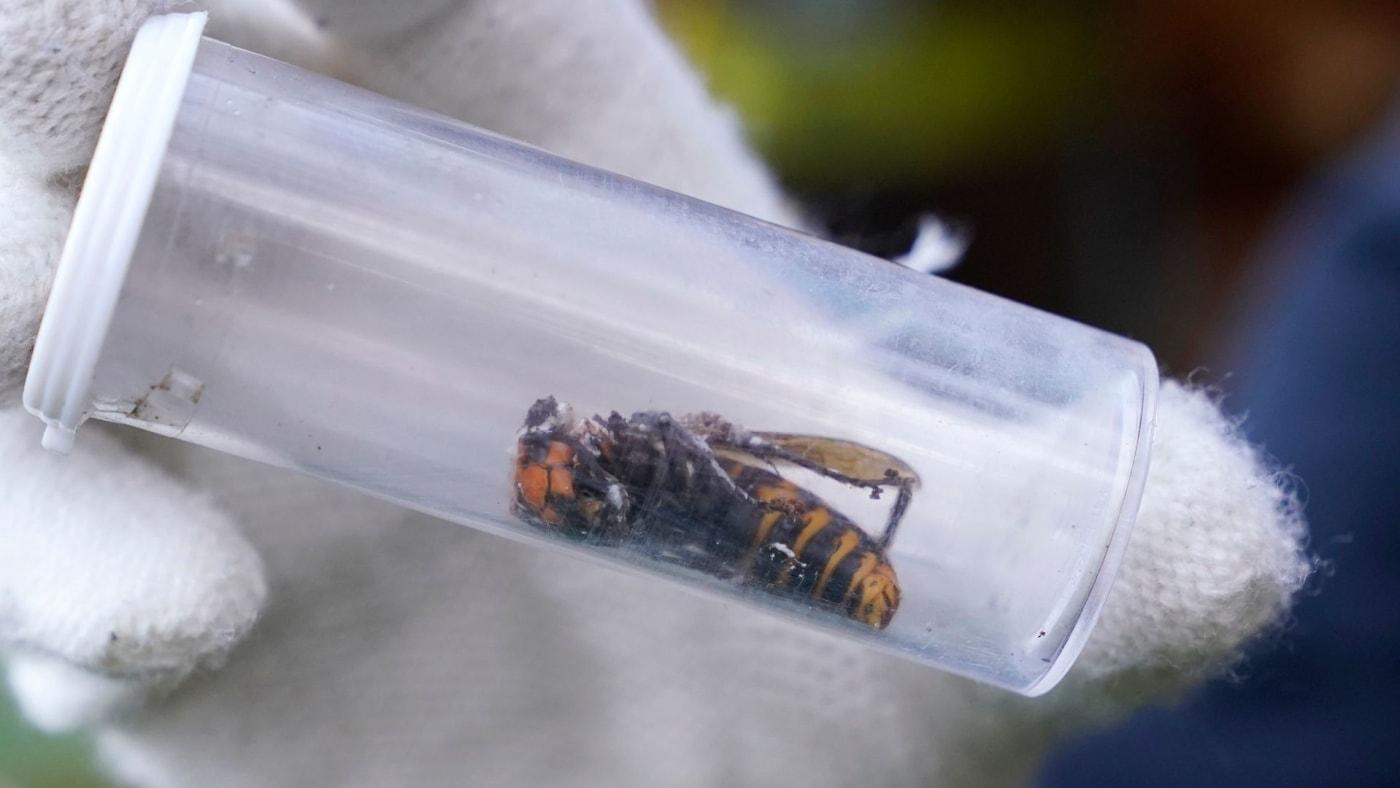murder-hornet-spotted-live