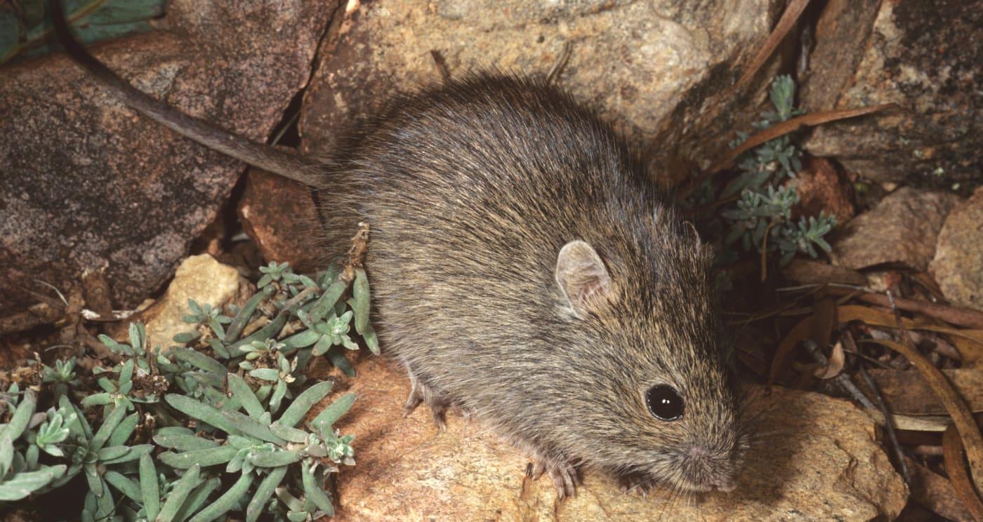 Mice in Australia