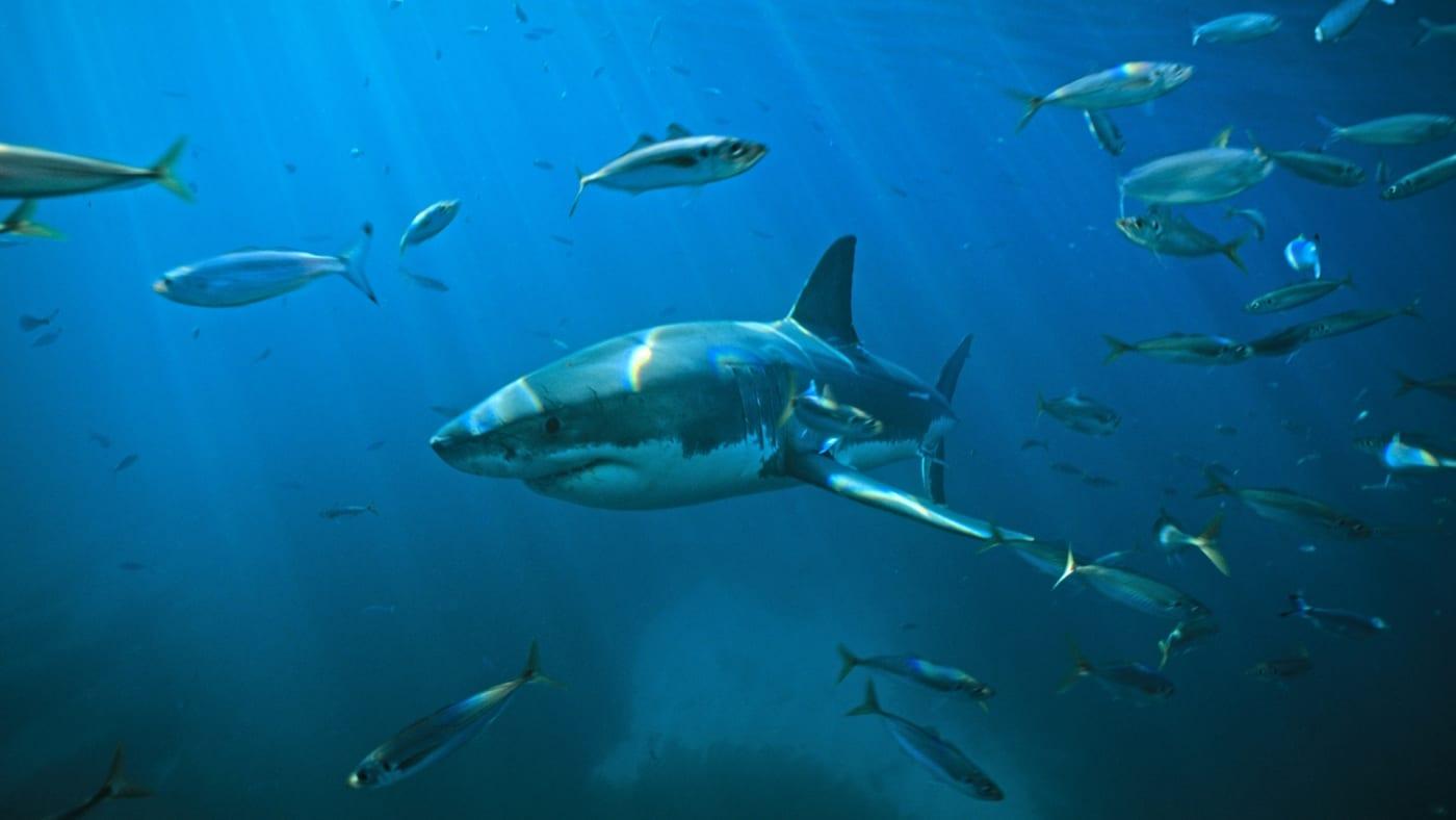 nov shark attack aus