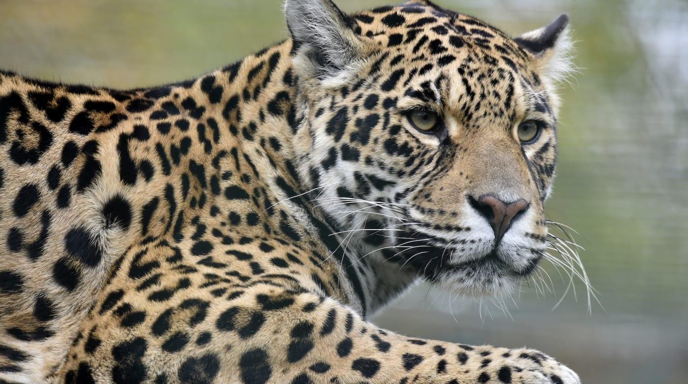 Jaguar at Zoo