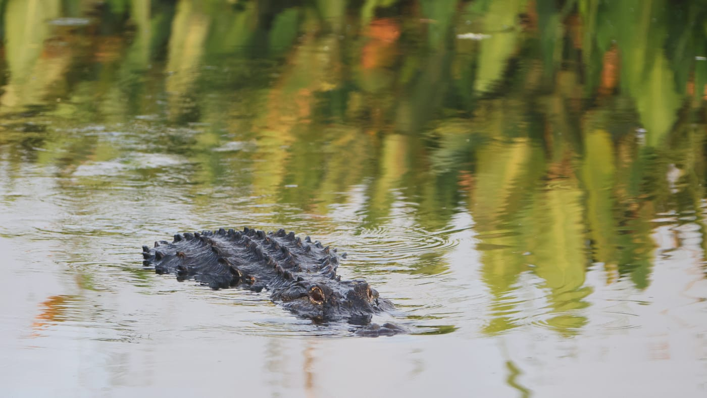An alligator navigates the waterway at the Wakodahatchee Wetlands.