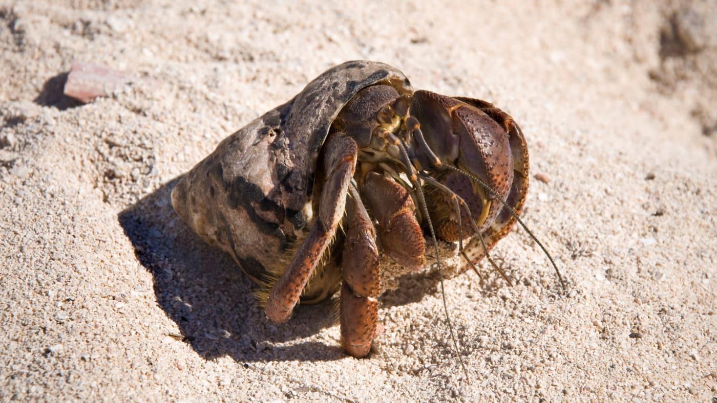 Hermit Crab. Ancon Bay. Cuba.