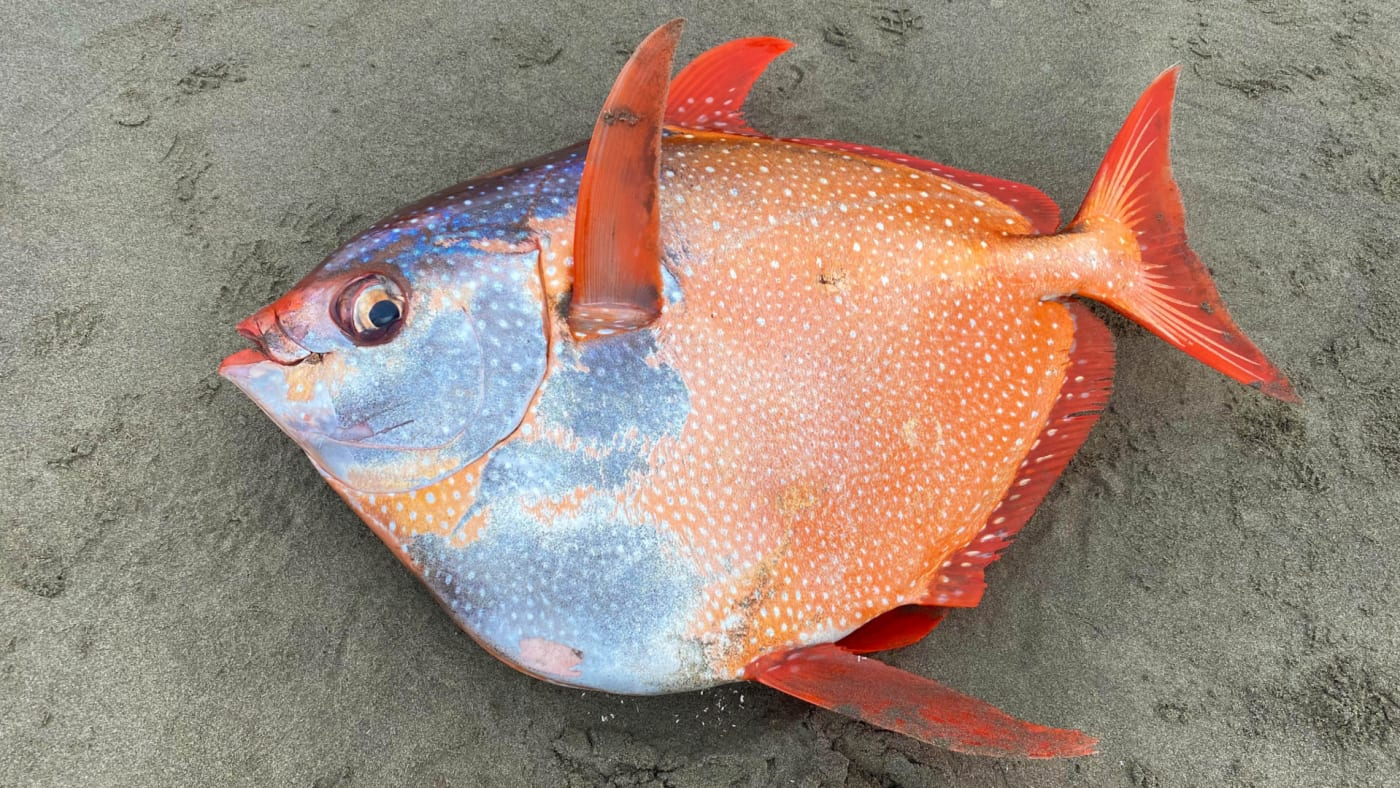 A photo of an opah fish, taken from the Seaside Aquarium's Facebook account.