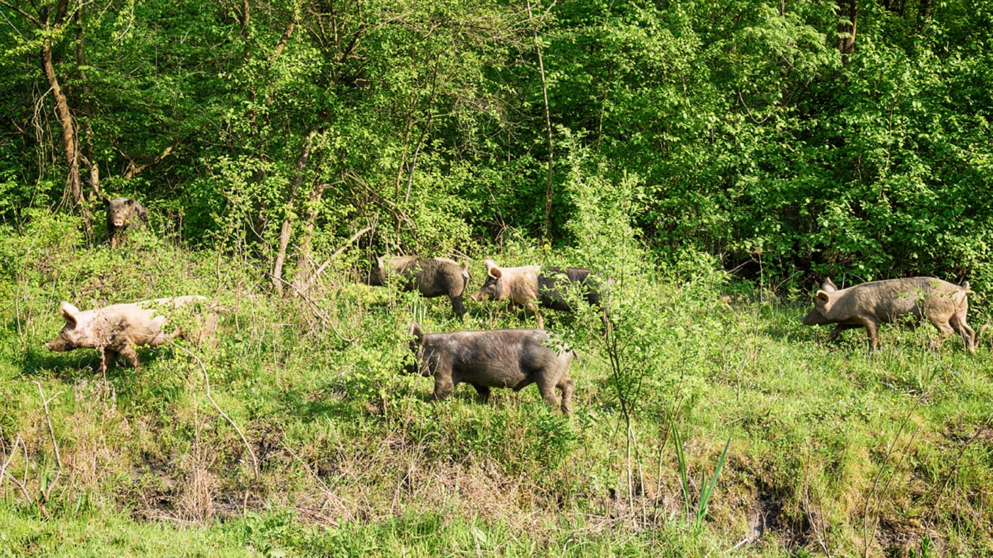 Feral pigs grazing